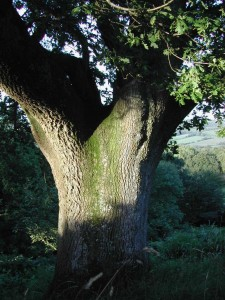 Sunlit oak on the Blackdown Hills, Devon