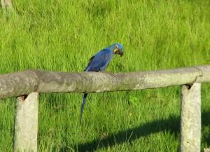 Hyacinth Macaw in the Pantanal